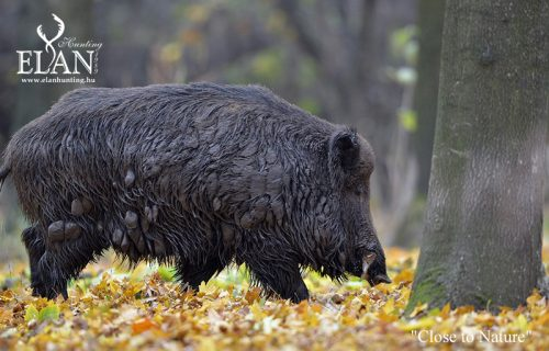 Driven Wild Boar Hunt in Hungary