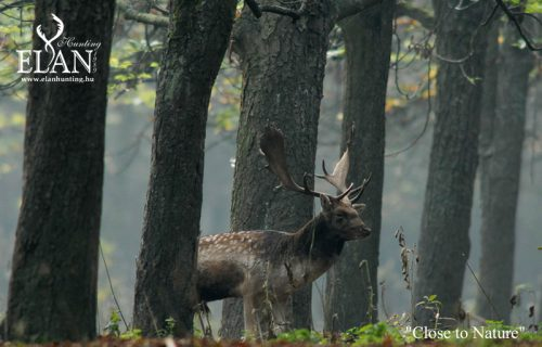 fallow-deer-roar_video