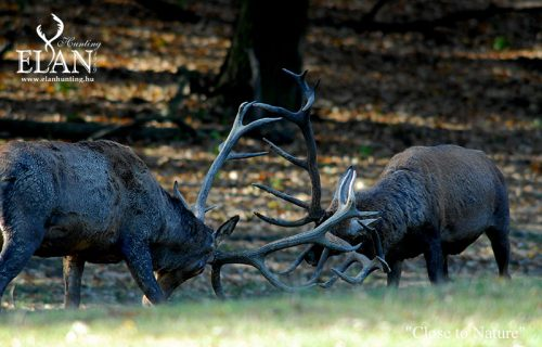 Red deer hunting in Hungary