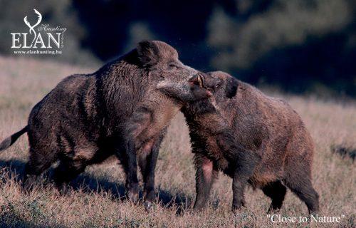 Wild Boar Rutting